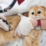 猫のエイズによる口内炎と治療法
