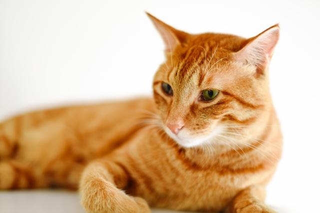 猫の発情期には綿棒が効果的?