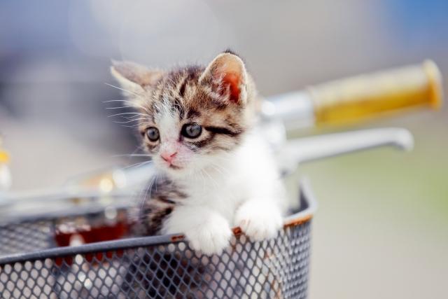 一人暮らしの人に飼いやすい猫の種類!