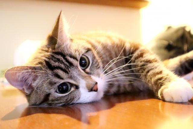 一人暮らしに向いている猫の種類と飼う時の10の心得 !